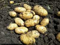 Картофель Жуковский (новый урожай)