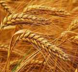 Пшеница мягких сортов, кукуруза, ячмень на экспорт на условиях CFR Иран
