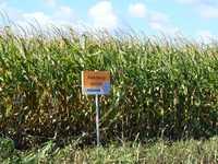 Семена кукурузы МАЙСАДУР (MAISADOUR) гибриды