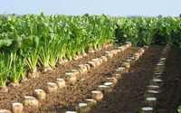 ФЛОРИМОН ДЕПРЕ / семена сахарной свеклы (Франция)