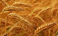 Пшеница 4 класс DAP Китай