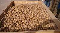 Картофель оптом Нижегородская область