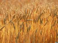 Пшеница 210 тонн, Беларусь