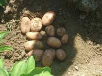 Картофель семенной Манифест (коломбо, джувел, ривьера, зорочка, палац)
