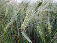 Зерновые, отруби