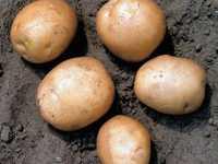 Картофель сорт Гала ручной уборки c 18.07