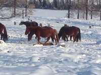 Лошади. 2,3 года. Кобылы жеребые