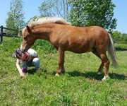 Жеребец. Американская миниатюрная лошадь