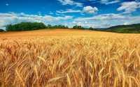 Пшеница фуражная с проростом
