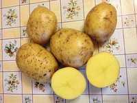 Картофель мелкий, сорт Гала
