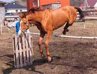 Лошадь арабо-донской породы ВИВЬЕН