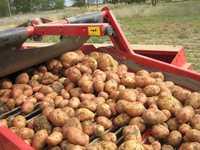 Продовольственный картофель урожай 2016 года