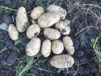 Реализуем картофель оптом от производителя