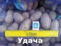Молодой картофель оптом