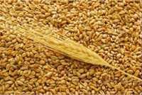 Пшеница экспорт Казахстан