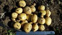 Картофель урожай 2018