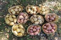 Картофель семенной от производителя