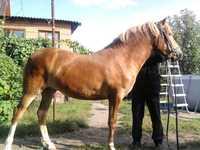 Лошади башкирской элитной породы