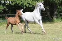 Продажа лошадей чистокровной арабской породы