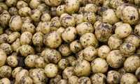 Картофель оптом Гала
