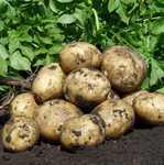 Картофель ранний 45 плюс