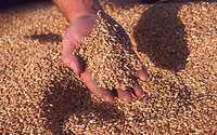 Пшеница 5кл
