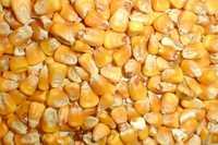 Продам фуражную кукуруза на экспорт FOB, CIF