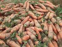 Морковь лом для переработчиков