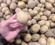 Картофель мелкий нестандарт (некондиция)