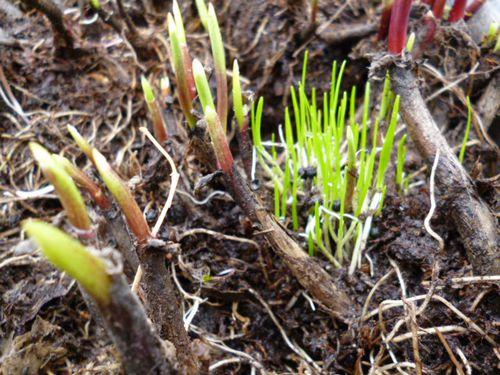 Как вырастить черемшу из семян