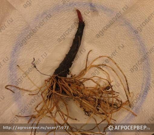 Черемша из семян когда сажать