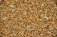Продажа зерна, зерно в СПб