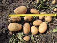 Калужский картофель от фермера урожай 2016 года