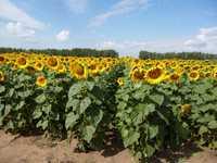 Семена подсолнечника, кукурузы, сои и люпина