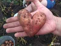 Семенной картофель Редскарлет производителя