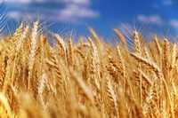 Пшеница 5 кл на экспорт