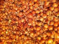 Лук репчатый урожай 2016 г