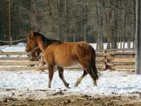 Продадим Лошадей живым весом с Г- Алтая, большой выбор